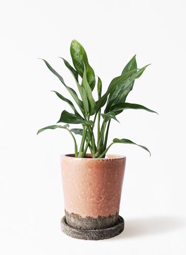 観葉植物 アグラオネマ 4号 ヴィフポット サーモンピンク 付き
