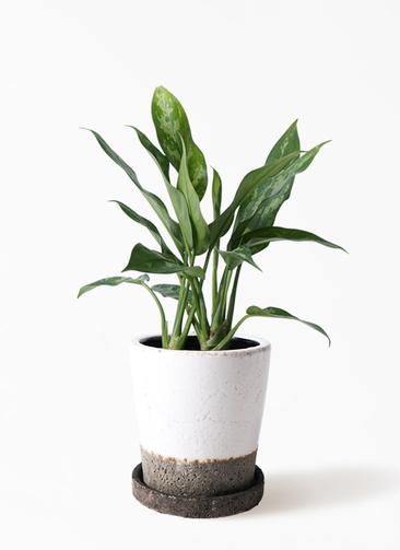 観葉植物 アグラオネマ 4号 ヴィフポット ホワイト 付き