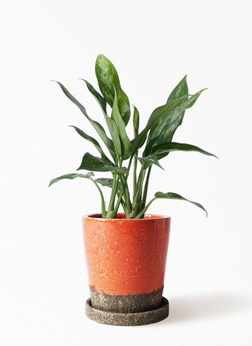 観葉植物 アグラオネマ 4号 ヴィフポット オレンジ 付き
