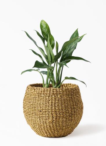 観葉植物 アグラオネマ 4号 アバカバスケット オリーブ 付き
