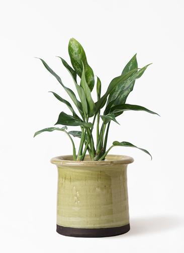 観葉植物 アグラオネマ 4号 アンティークテラコッタ グリーン 付き
