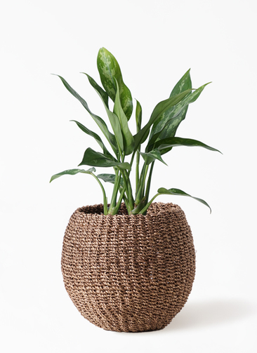 観葉植物 アグラオネマ 4号 アバカバスケット スモーク 付き