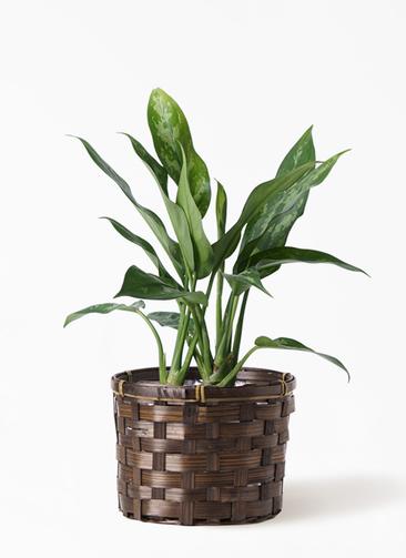 観葉植物 アグラオネマ 4号 竹バスケット付き