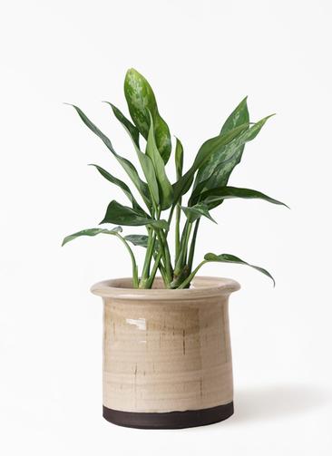 観葉植物 アグラオネマ 4号 アンティークテラコッタ グレイ 付き