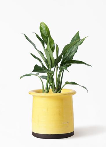 観葉植物 アグラオネマ 4号 アンティークテラコッタ イエロー 付き