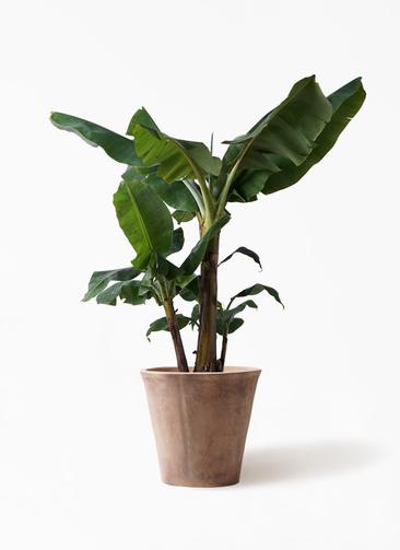 観葉植物 三尺バナナ 10号 ルーガ アンティコ ソリッド 付き