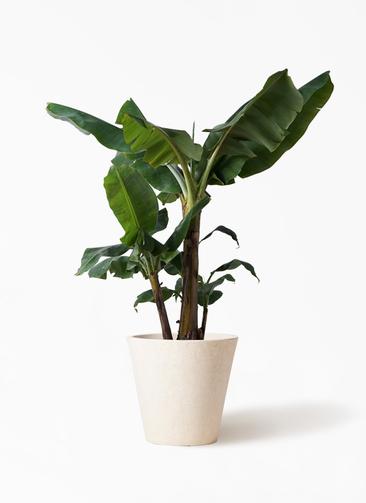 観葉植物 三尺バナナ 10号 フォリオソリッド クリーム 付き