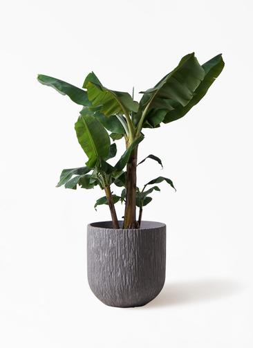 観葉植物 三尺バナナ 10号 カルディナダークグレイ 付き