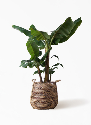 観葉植物 三尺バナナ 10号 リゲル 茶 付き