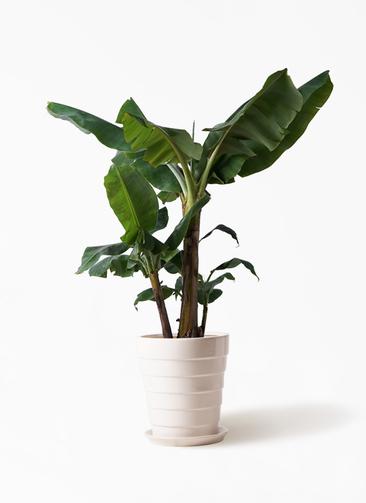 観葉植物 三尺バナナ 10号 サバトリア 白 付き