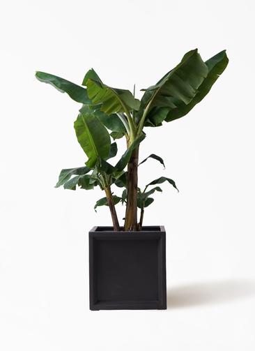 観葉植物 三尺バナナ 10号 ブリティッシュキューブ 付き