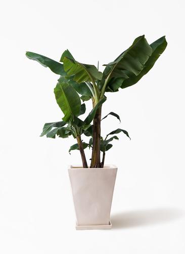 観葉植物 三尺バナナ 10号 スクエアハット 白 付き
