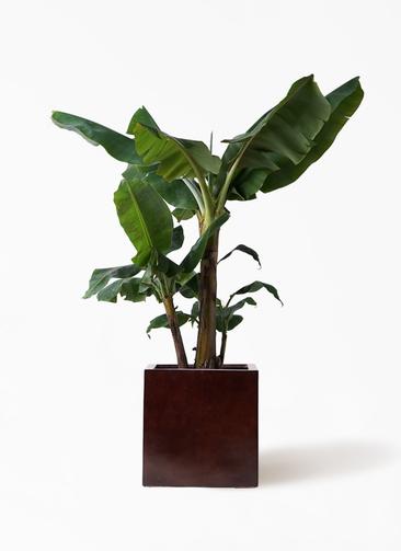 観葉植物 三尺バナナ 10号 MOKU キューブ 付き