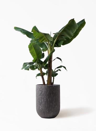 観葉植物 三尺バナナ 10号 カルディナトールダークグレイ 付き