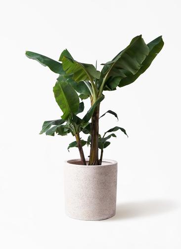 観葉植物 三尺バナナ 10号 サンディ シリンダー 白 付き