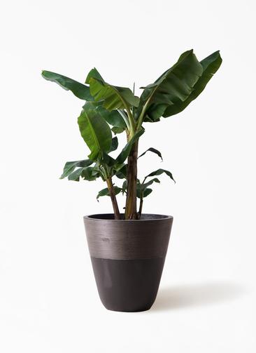 観葉植物 三尺バナナ 10号 ジュピター 黒 付き