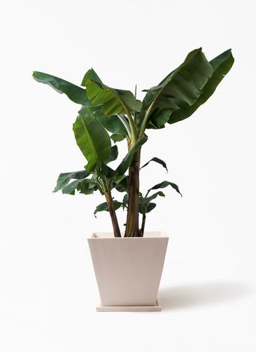 観葉植物 三尺バナナ 10号 パウダーストーン 白 付き