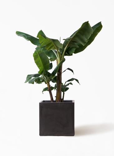 観葉植物 三尺バナナ 10号 ファイバークレイ 付き
