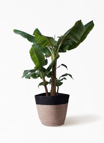 観葉植物 三尺バナナ 10号 リブバスケットNatural and Black 付き