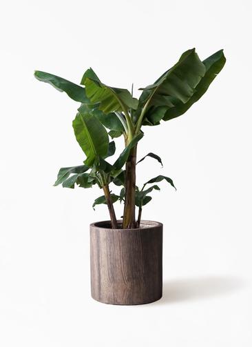観葉植物 三尺バナナ 10号 アルファシリンダープランター 付き