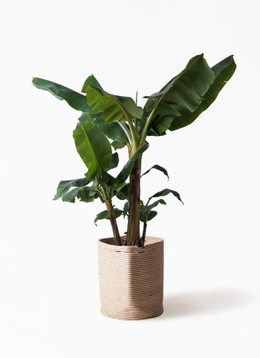 観葉植物 三尺バナナ 10号 リブバスケットNatural 付き