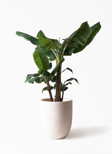 観葉植物 三尺バナナ 10号 ビアスアルトエッグ 白 付き