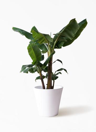観葉植物 三尺バナナ 10号 フォリオソリッド 白 付き