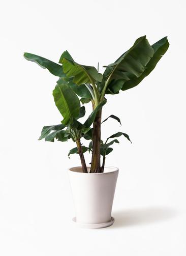 観葉植物 三尺バナナ 10号 サブリナ 白 付き