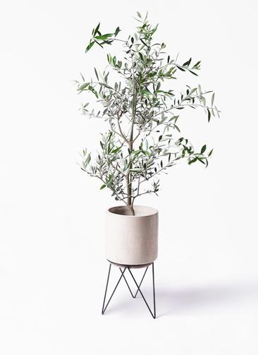 観葉植物 オリーブの木 8号 コレッジョラ ビトロ エンデカ 鉢カバースタンド付 クリーム 付き