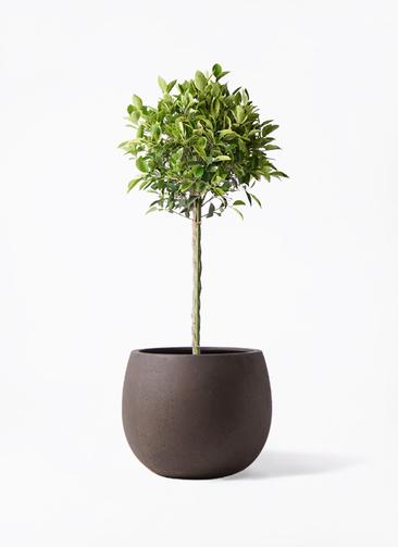 観葉植物 フィカス ベンジャミン 8号 ゴールデンスポット テラニアス ローバルーン アンティークブラウン 付き