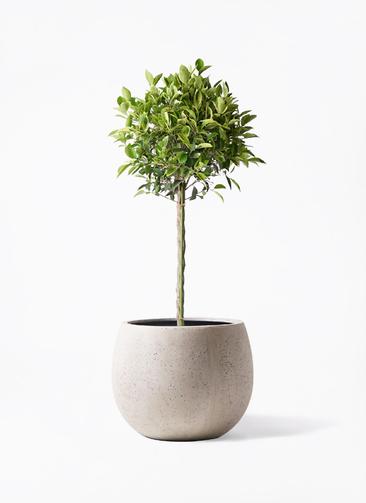 観葉植物 フィカス ベンジャミン 8号 ゴールデンスポット テラニアス ローバルーン アンティークホワイト 付き