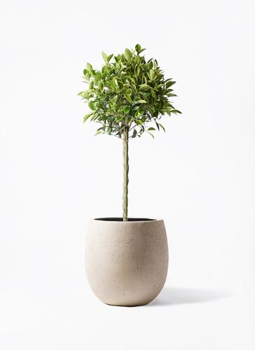 観葉植物 フィカス ベンジャミン 8号 ゴールデンスポット テラニアス バルーン アンティークホワイト 付き