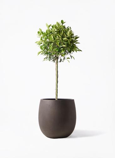観葉植物 フィカス ベンジャミン 8号 ゴールデンスポット テラニアス バルーン アンティークブラウン 付き