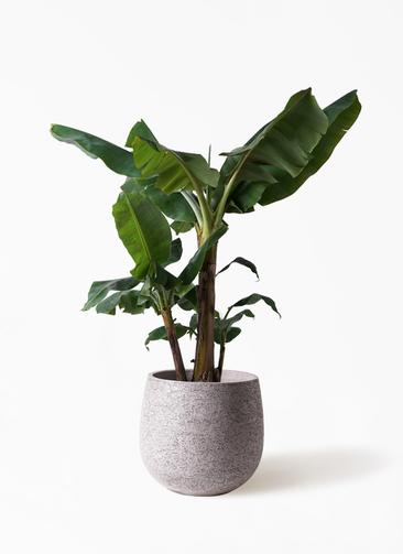 観葉植物 三尺バナナ 10号 エコストーンGray 付き