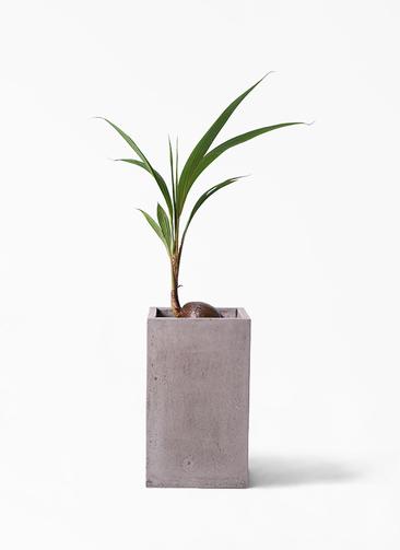 観葉植物 ココヤシ 7号 セドナロング グレイ 付き