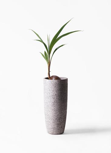 観葉植物 ココヤシ 7号 エコストーントールタイプ Gray 付き
