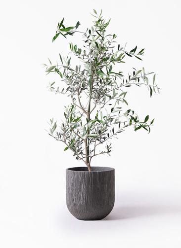 観葉植物 オリーブの木 8号 コレッジョラ カルディナダークグレイ 付き