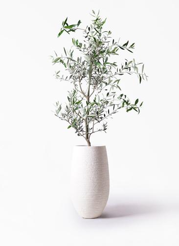 観葉植物 オリーブの木 8号 コレッジョラ フォンティーヌトール 白 付き