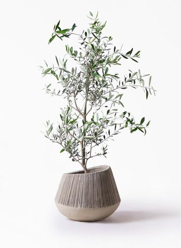 観葉植物 オリーブの木 8号 コレッジョラ エディラウンド グレイ 付き