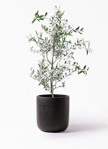 観葉植物 オリーブの木 8号 コレッジョラ エルバ 黒 付き
