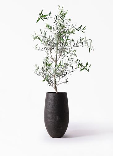 観葉植物 オリーブの木 8号 コレッジョラ フォンティーヌトール 黒 付き