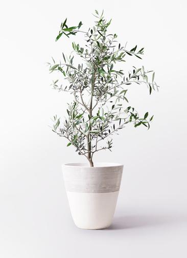 観葉植物 オリーブの木 8号 コレッジョラ ジュピター 白 付き