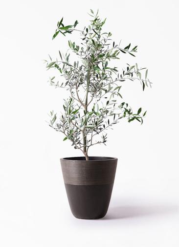 観葉植物 オリーブの木 8号 コレッジョラ ジュピター 黒 付き