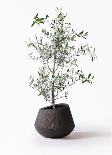 観葉植物 オリーブの木 8号 コレッジョラ エディラウンド 黒 付き