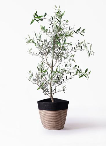 観葉植物 オリーブの木 8号 コレッジョラ リブバスケットNatural and Black 付き