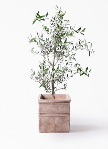 観葉植物 オリーブの木 8号 コレッジョラ テラアストラ カペラキュビ 赤茶色 付き