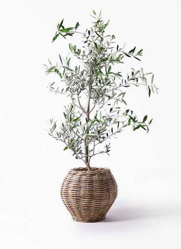観葉植物 オリーブの木 8号 コレッジョラ グレイラタン 付き