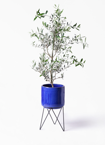 観葉植物 オリーブの木 8号 コレッジョラ ビトロ エンデカ 鉢カバースタンド付 ブルー 付き