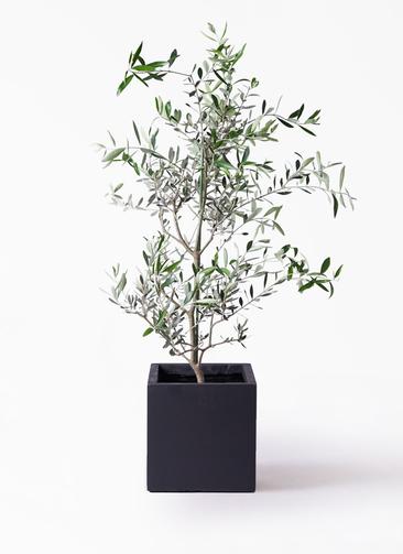 観葉植物 オリーブの木 8号 コレッジョラ ベータ キューブプランター 黒 付き
