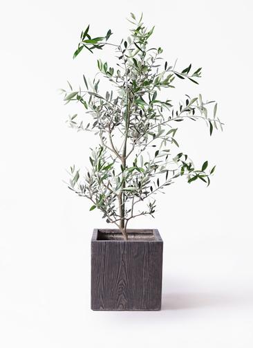観葉植物 オリーブの木 8号 コレッジョラ ベータ キューブプランター ウッド 茶 付き